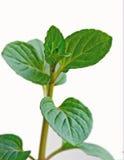 czekolady mennicy roślina Obrazy Royalty Free
