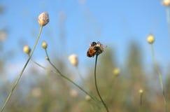 Czerń śpiczasty czerwony insekt Fotografia Royalty Free