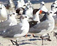 Czerń Cedzakowy wśród Seagulls Zdjęcia Royalty Free