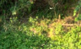 Czerń i żółty ogrodowy pająk w wielkiej sieci Zdjęcie Royalty Free