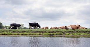 Czer? i czerwienie dostrzega? krowy k?amamy i stoimy w zielonej holenderskiej ??ce w Holland fotografia stock