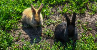 Czerń i czerwony mały śmieszny królik z długimi ucho Zdjęcia Stock