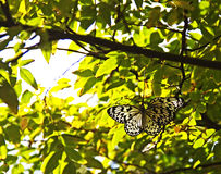 Czerń i przejrzysty biały motyl Obraz Royalty Free