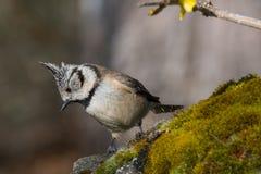Czerń i whit mały ptak w przyrodzie Fotografia Royalty Free