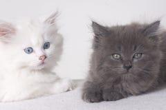 czerń koci się biel Zdjęcia Royalty Free