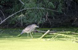 Czerń Koronował nocy czapli na duckweed bagna stawie, Sweetwater bagna Tucson Arizona, usa obraz stock