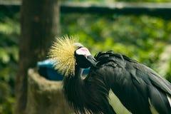 Czerń koronowany żuraw w zoo zdjęcia royalty free