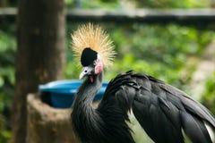 Czerń koronowany żuraw w zoo fotografia royalty free