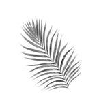 Czerń liście drzewko palmowe Obrazy Stock
