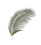Czerń liście drzewko palmowe Zdjęcia Stock
