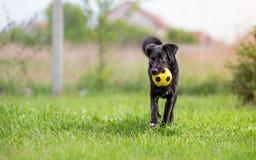 Czerń mieszająca traken psia bawić się piłka Zdjęcie Stock
