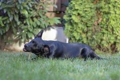 Czerń mieszający trakenu pies w ogródzie fotografia stock
