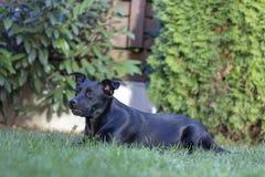 Czerń mieszający trakenu pies w ogródzie obraz royalty free
