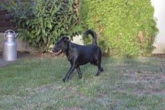 Czerń mieszający trakenu pies w ogródzie obraz stock