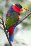 czerń nakrywająca lory papuga Obraz Royalty Free