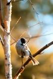 czerń nakrywający chickadee Zdjęcie Royalty Free