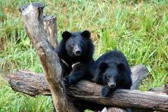 czerń niedźwiadkowy czerń Obraz Stock