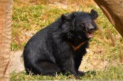 czerń niedźwiadkowy czerń Zdjęcia Stock
