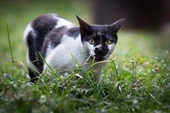 Czerń Ostrożnie wprowadzać Ulicznego kota Zdjęcie Royalty Free