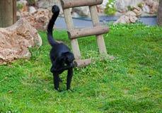 Czerń pająka małpy Ateles głowiaści fusciceps Obrazy Royalty Free