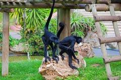 czerń przewodzący małpi pająk Ateles fusciceps Zdjęcie Stock