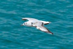 Czerń Przewodzący Seagull wznosi się nad piękną błękitne wody obraz stock