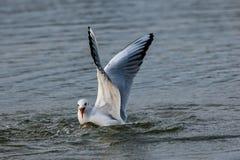 Czerń przewodził seagulls nurkuje w jezioro wodę dla chleba fotografia stock