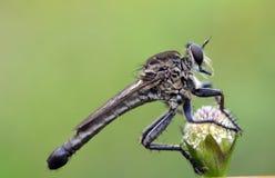 Czerń robberfly na białym kwiacie Zdjęcie Stock