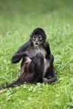 czerń wręczający małpi pająk zdjęcia royalty free