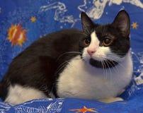 Czerń z białym z włosami kotem z pomarańczowymi oczami kłama Obraz Stock