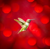 czerń chinned hummingbird Obrazy Royalty Free