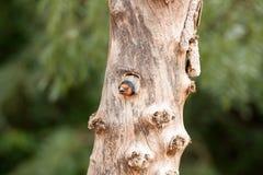 Czerń collered barbet w drzewie Obraz Stock