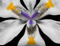 czerń lilly makro- biel Fotografia Stock