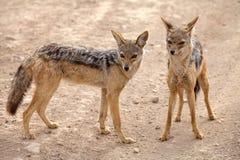 Czerń podparty szakal (Canis mesomelas) Obraz Stock