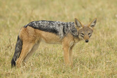 Czerń Podparty szakal (Canis mesomelas) Obrazy Royalty Free