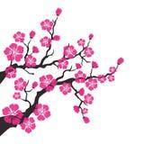 Czereśniowy okwitnięcie, Sakura kwitnie na białym tle ilustracja wektor