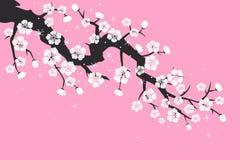 Czereśniowy okwitnięcie, Sakura kwitnie na różowym tle ilustracji