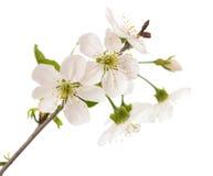 Czereśniowa gałąź z kwiatami Fotografia Royalty Free