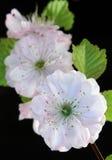 Czereśniowa gałązka Fotografia Stock