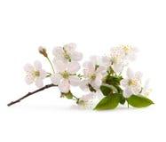 Czereśniowa gałązka w kwiacie zdjęcia stock