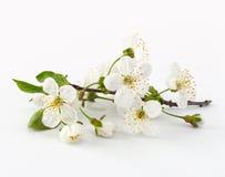 czereśniowa kwiat gałązka obrazy stock