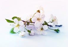 czereśniowa kwiat gałązka obrazy royalty free
