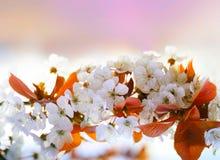 czereśniowa kwiat gałązka Obraz Stock