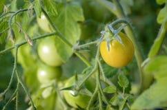 Czereśniowa Pomidorowa roślina Fotografia Royalty Free