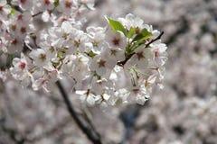 czereśniowego białe kwiaty Zdjęcia Stock