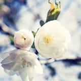 czereśniowego białe kwiaty Obraz Royalty Free