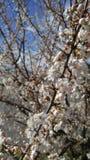 czereśniowego białe kwiaty Zdjęcie Stock