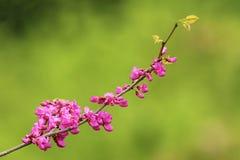 Czereśniowego drzewa gałązka w kwiacie Zdjęcie Royalty Free