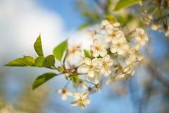 Czereśniowego drzewa kwiatów okwitnięcie w światła słonecznego zbliżeniu Makro- fotografia Fotografia Stock