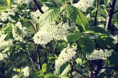 Czereśniowego drzewa kwiatu kwiatostanu zbliżenie Obrazy Royalty Free